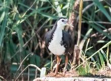 Biali kurczaki, waterbirds owadożerni, czarny i biały, bagno stawy, Biali kurczaki, Obrazy Royalty Free