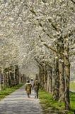 Biali kwiatonośni drzewa wzdłuż footpath zdjęcia royalty free