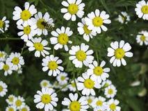 Biali kwiaty Obrazy Royalty Free
