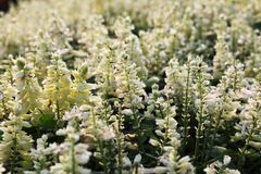 Biali kwiaty Zdjęcia Stock