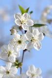 Biali kwiaty Obraz Stock