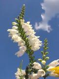 Biali kwiaty Obrazy Stock