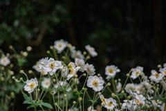 Biali kwiaty Afeild Obraz Stock