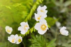 Biali kwiaty Anemonowy sylvestris śnieżyczki anemon fotografia stock