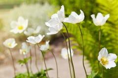 Biali kwiaty Anemonowy sylvestris śnieżyczki anemon obraz stock