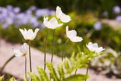 Biali kwiaty Anemonowy sylvestris śnieżyczki anemon zdjęcia royalty free
