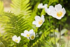 Biali kwiaty Anemonowy sylvestris śnieżyczki anemon obrazy stock