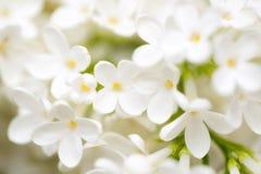 Biali kwiaty bez na naturze Obrazy Stock