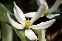 Biali kwiaty Clematis Armandii- Jabłczany okwitnięcie Zdjęcie Stock