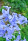Biali kwiaty dziki irys na letnim dniu w ogródzie fotografia stock