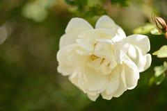 Biali kwiaty dzikie róże Zdjęcie Stock