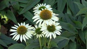 Biali kwiaty echinacea w ogródzie zdjęcie wideo