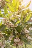 Biali kwiaty Elaeocarpus grandiflorus w Tajlandia Zdjęcia Stock