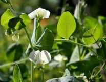 Biali kwiaty grochowi Obrazy Royalty Free