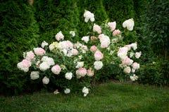 Biali kwiaty hortensi paniculata Zdjęcia Stock