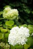 Biali kwiaty hortensi paniculata Fotografia Royalty Free