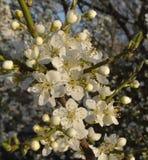 Biali kwiaty i kwitnienie pączki na gałąź obficie kwitnie śliwki obraz stock