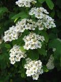 Biali kwiaty i pączki na kwitnącym Spiraea krzaku obrazy royalty free