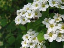 Biali kwiaty i pączki na kwitnącym Spiraea krzaku Obrazy Stock