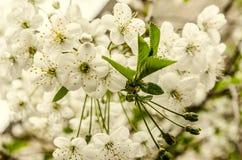 Biali kwiaty i unrevealed zieleń opuszczają czereśniowego drzewa fotografia stock
