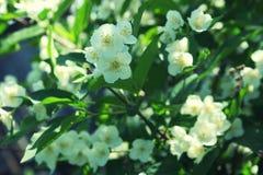Biali kwiaty Jaśminowy krzaka zakończenie up Fotografia Stock