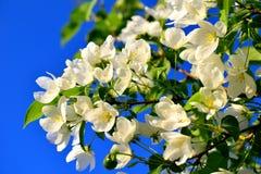Biali kwiaty jabłonie na tle niebieskie niebo obraz royalty free