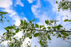 Biali kwiaty jabłka i bielu chmury Obrazy Stock