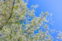 Biali kwiaty jabłko Obraz Stock