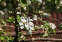 Biali kwiaty jabłonie Zdjęcie Stock