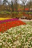 Biali kwiaty & Kolorowi tulipany w Keukenhof Obraz Stock