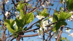 Biali kwiaty Kwitną na gałąź Czereśniowym drzewie zbiory