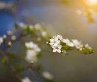 Biali kwiaty kwitnie na gałąź, wiosna Zdjęcia Royalty Free