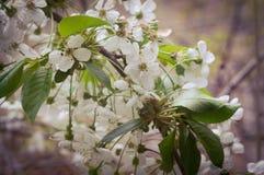 Biali kwiaty kwitnie wiśnie w wiośnie Obrazy Royalty Free