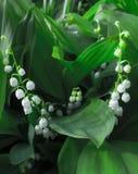 Biali kwiaty - leluja dolina Obrazy Royalty Free