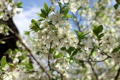 Biali kwiaty śliwkowi okwitnięcia na wiosna dniu w parku o Zdjęcia Royalty Free
