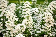 Biali kwiaty Lobularia Zdjęcia Royalty Free
