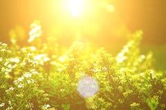 Biali kwiaty Lobularia Obraz Royalty Free