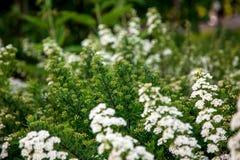 Biali kwiaty Lobularia Fotografia Royalty Free