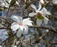 Biali kwiaty magnolia Zdjęcia Stock
