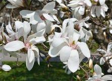 Biali kwiaty Magnoliowy stellata Fotografia Stock