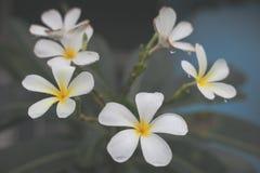 Biali kwiaty miękcy i trybowi Fotografia Royalty Free
