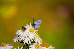 Biali kwiaty, motyl Zdjęcia Royalty Free