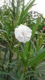 Biali kwiaty na chmurnym dniu Obraz Royalty Free