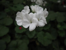 Biali kwiaty na ciemnym tle Zdjęcie Stock