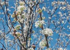 Biali kwiaty na drzewie Zdjęcie Royalty Free