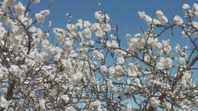 Biali kwiaty na drzewie na niebieskim niebie z pszczołami zdjęcie wideo