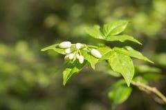Biali kwiaty na małej gałązce z liśćmi obraz royalty free