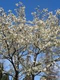 Biali kwiaty na magnoliowych drzewach Fotografia Royalty Free