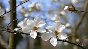 Biali kwiaty na magnoliowym drzewie wczesna wiosna zbiory wideo