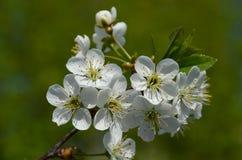 Biali kwiaty na wiśni gałąź zdjęcie royalty free